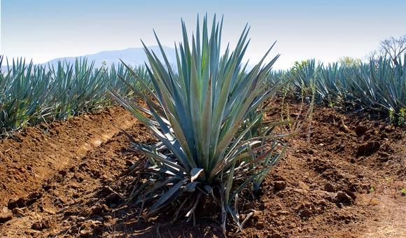 Agave Plant เติบโตในทุ่งนา