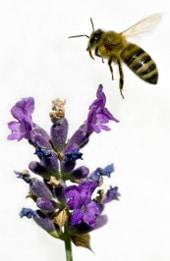 ผึ้งเก็บน้ำผึ้ง