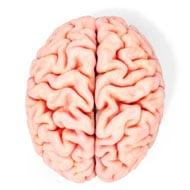 สมองของมนุษย์บนพื้นหลังสีขาว