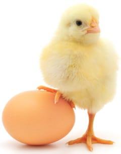 ไก่และไข่